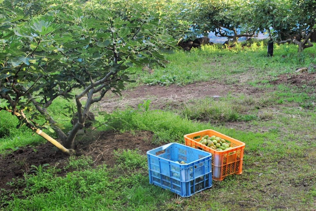 いちじくの木とコンテナにたくさん収穫されたいちじく