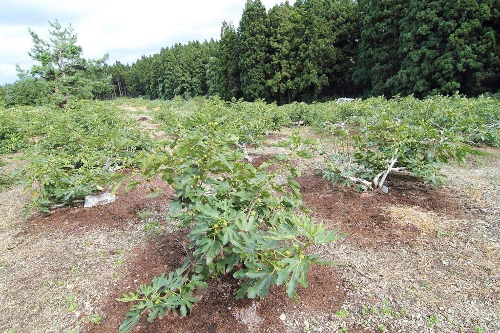 秋田県にかほ市大竹集落のいちじく畑