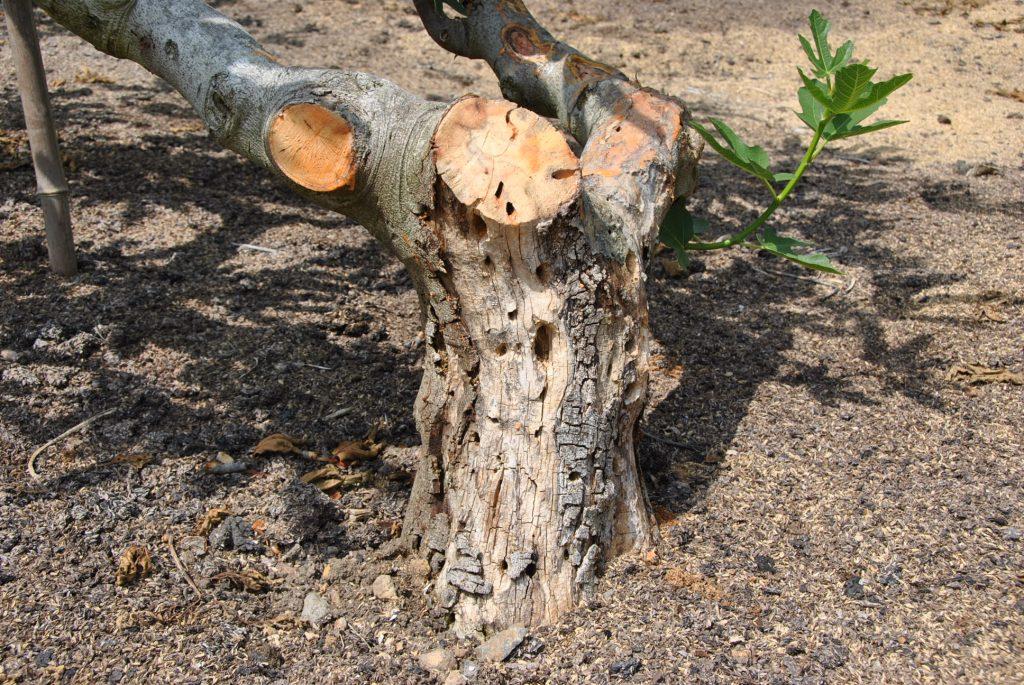 カミキリムシに浸食され切り落とされたいちじくの幹