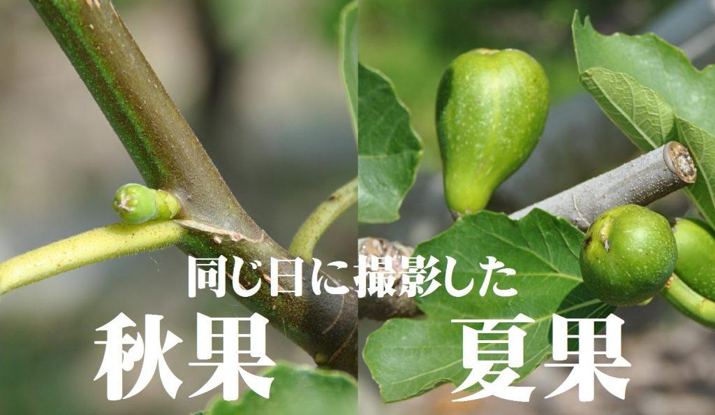 いちじくの夏果と秋果の比較