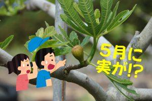 5月のいちじく畑アイキャッチ