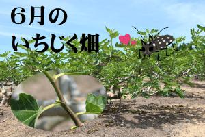 6月のいちじく畑アイキャッチ