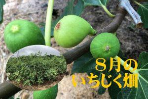 8月のいちじく畑アイキャッチ